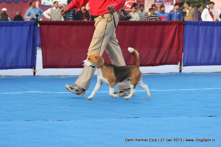 beagle,ex-40,sw-79,, HOTTEX ROWDY LEADER OF THE PACK, Beagle, DogSpot.in