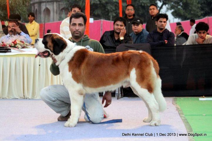 st bernard,sw-98,, Delhi Dog Show 2013, DogSpot.in