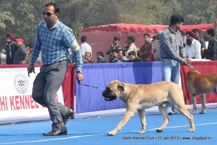 bull mastiff,ex-153,sw-79,, NEMO, Bullmastiff, DogSpot.in