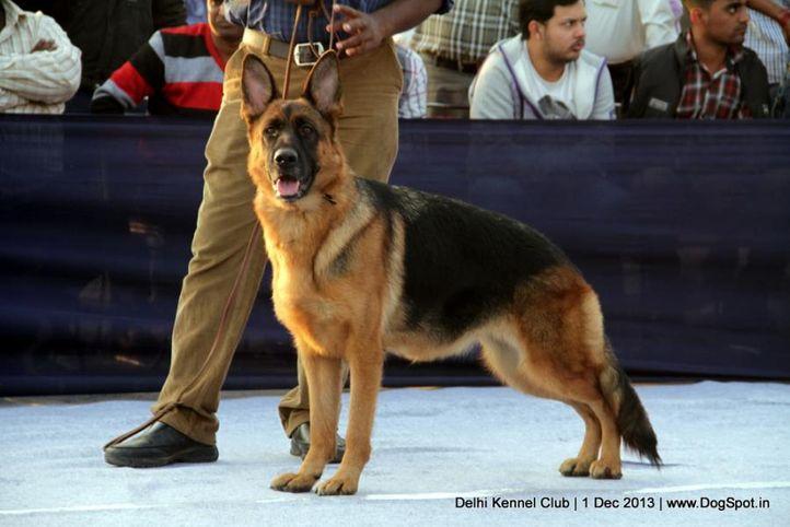 ex-330,german shephard,gsd,sw-98,, VANESSIA VON AURELIUS, German Shepherd Dog, DogSpot.in