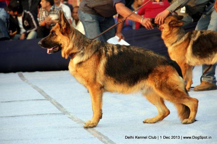 german shephard,gsd,sw-98,, Delhi Dog Show 2013, DogSpot.in