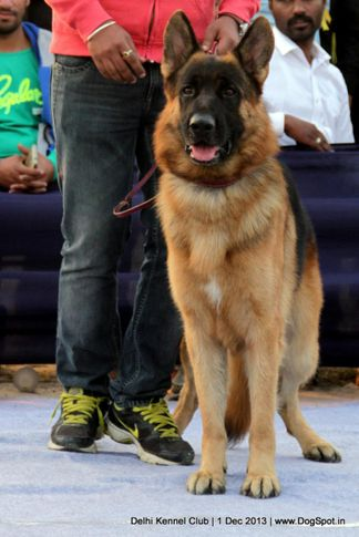 ex-340,german shephard,gsd,sw-98,, ZAP OF DADHWAL, German Shepherd Dog, DogSpot.in
