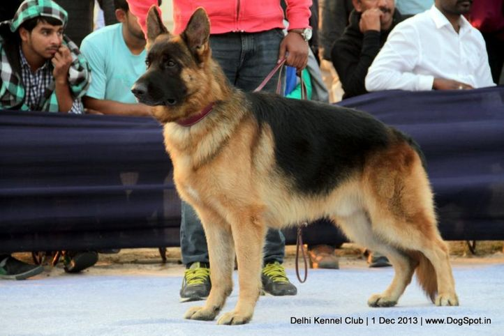 ex-340,german shephard,gsd,sw-98,, ZAP OF DADHWAL, German Shepherd Dog, DogSpot.in