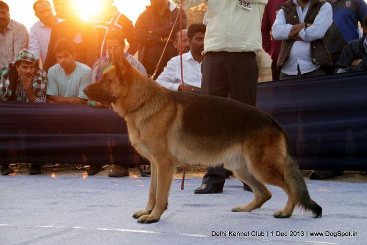 ex-336,german shephard,gsd,sw-98,, DARIO VON DER PISTE TROPHE, German Shepherd Dog, DogSpot.in