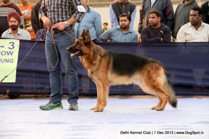 ex-343,german shephard,gsd,sw-98,, WILLI AM SEETEICH, German Shepherd Dog, DogSpot.in