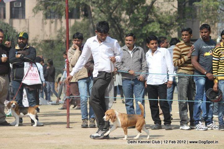 beagle,sw-52,, Delhi Kennel Club 2012, DogSpot.in