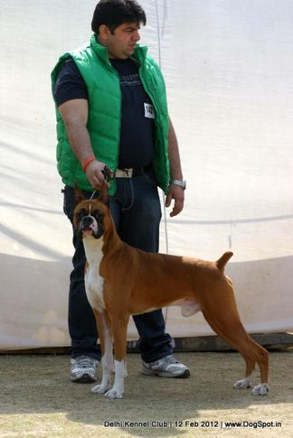 boxer,ex-142,sw-52,, NEXT STEP'S TRIUMPH, Boxer, DogSpot.in