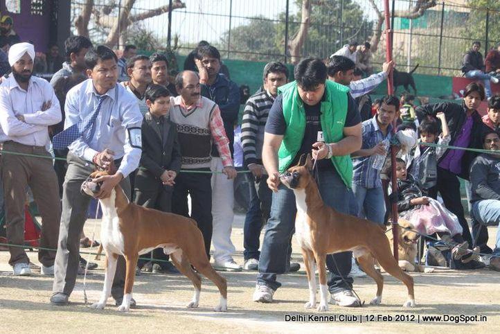 boxer,sw-52,, Delhi Kennel Club 2012, DogSpot.in
