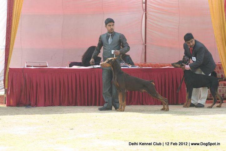 doberman,sw-52,, Delhi Kennel Club 2012, DogSpot.in