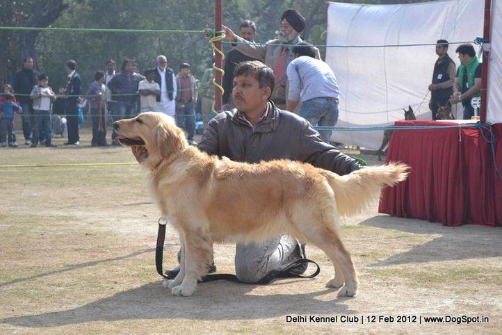 golden,sw-52,, Delhi Kennel Club 2012, DogSpot.in