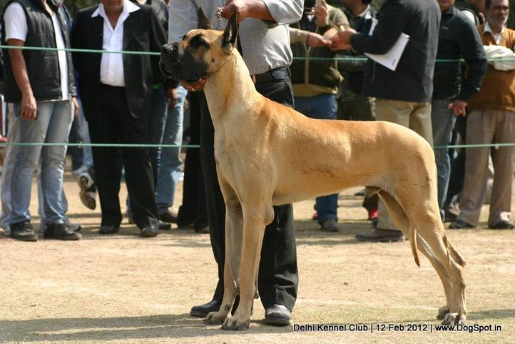 greatdane,sw-52,, Delhi Kennel Club 2012, DogSpot.in