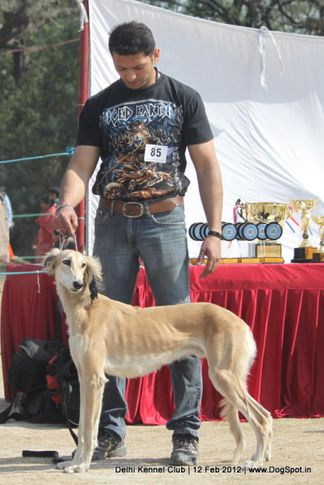 ex-85,hounds,sw-52,, FAST CASH, Saluki, DogSpot.in