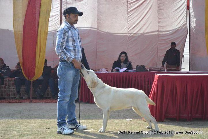 labrador,sw-52,, Delhi Kennel Club 2012, DogSpot.in