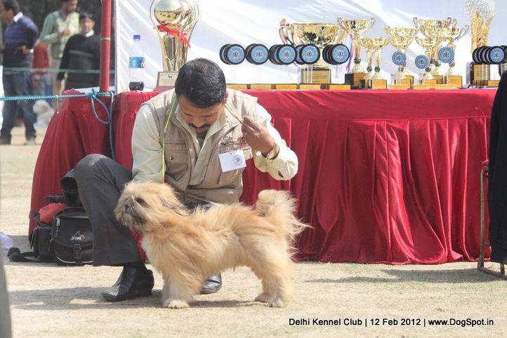 lhasa,sw-52,, Delhi Kennel Club 2012, DogSpot.in