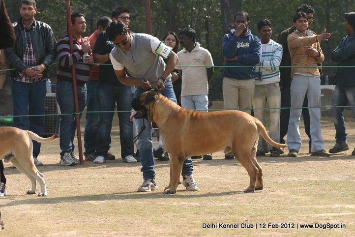 ex-145,mastiff,sw-52,, RATCHBURI BULLMASS QUINTUS, Bullmastiff, DogSpot.in