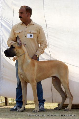 ex-166,greatdane,sw-52,, ACTON LINE OF THAKUR, Great Dane, DogSpot.in