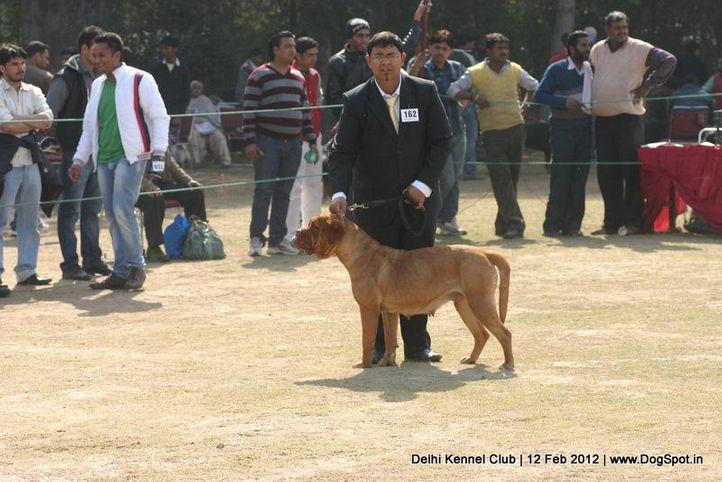 ex-162,mastiff,sw-52,, CARROT OF GURUSEWAT, Dogue De Bordeaux, DogSpot.in