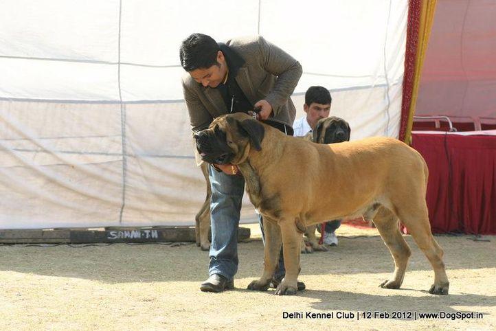 ex-204,mastiff,sw-52,, BRUNO, Mastiff- English, DogSpot.in