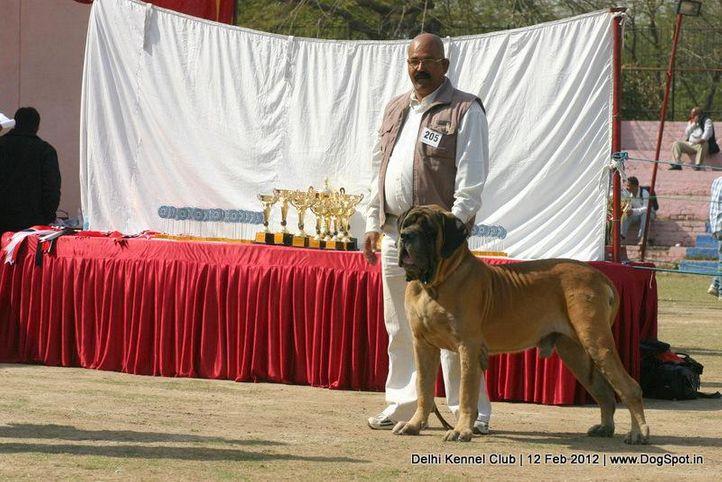 ex-205,mastiff,sw-52,, CORADO SINKO ZEMPLINA, Mastiff- English, DogSpot.in