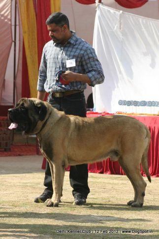 mastiff,sw-52,, Delhi Kennel Club 2012, DogSpot.in