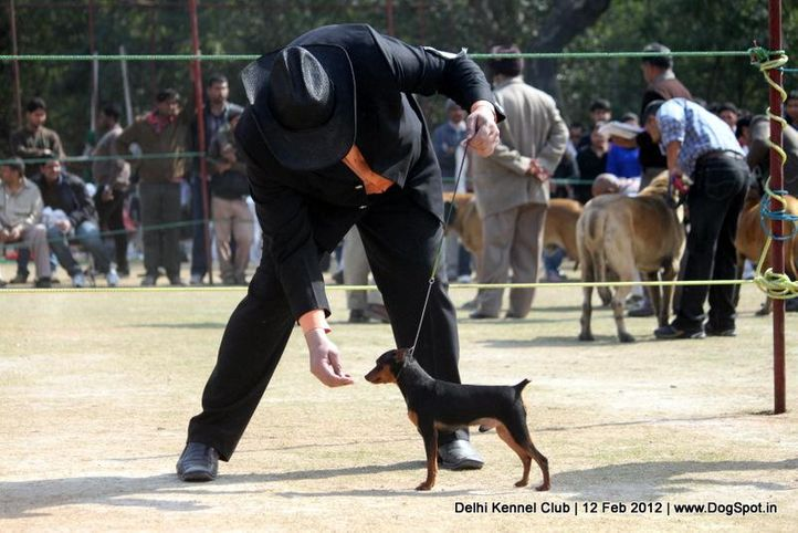 minpin,sw-52,, Delhi Kennel Club 2012, DogSpot.in