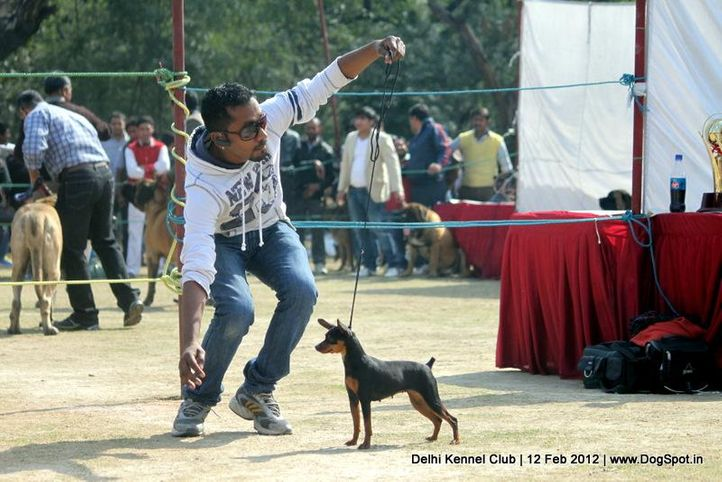 minpin,sw-52,, Delhi Kennel Club 2012, DogSpot.in