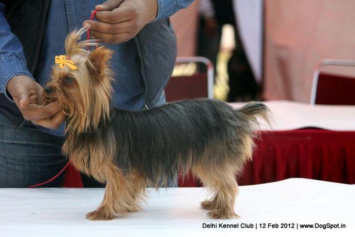 sw-52,yorkshire,, Delhi Kennel Club 2012, DogSpot.in