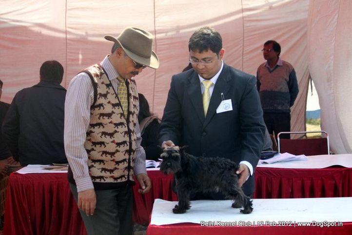 miniature schnauzer,sw-52,, Delhi Kennel Club 2012, DogSpot.in
