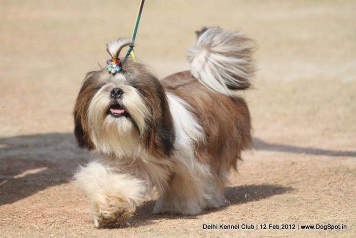 shitzu,sw-52,, Delhi Kennel Club 2012, DogSpot.in