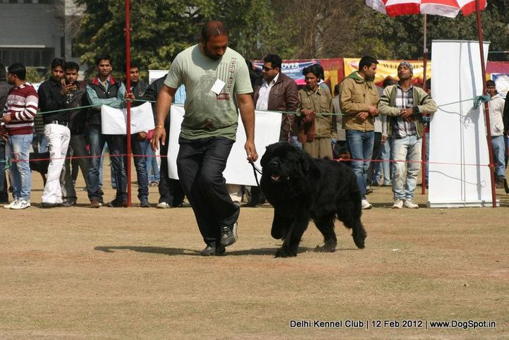 newfoundland,sw-52,, Delhi Kennel Club 2012, DogSpot.in