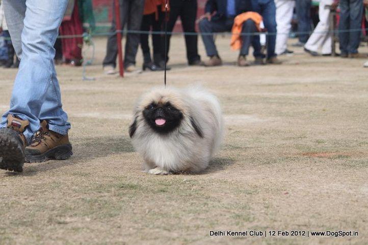ex-8,pekingese,sw-52,, TOM, Pekingese, DogSpot.in