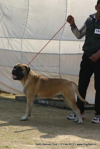 ex-144,mastiff,sw-52,, BOOMER, Bullmastiff, DogSpot.in