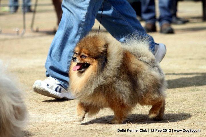 pomeranian,sw-52,, Delhi Kennel Club 2012, DogSpot.in