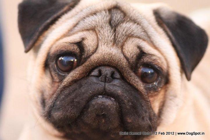 pug,sw-52,, Delhi Kennel Club 2012, DogSpot.in
