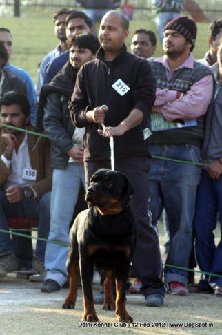 ex-215,rottweiler,sw-52,, DOLLAR, Rottweiler, DogSpot.in