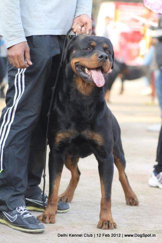 ex-216,rottweiler,sw-52,, NEO CRNI LOTOS, Rottweiler, DogSpot.in