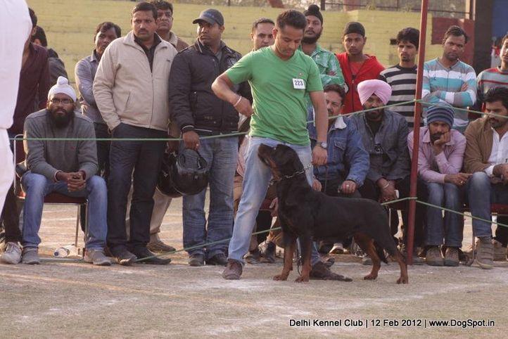 ex-223,rottweiler,sw-52,, AUDI OF TIWANA, Rottweiler, DogSpot.in