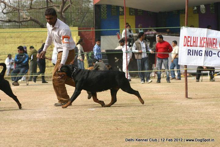 ex-230,rottweiler,sw-52,, RAZIA, Rottweiler, DogSpot.in