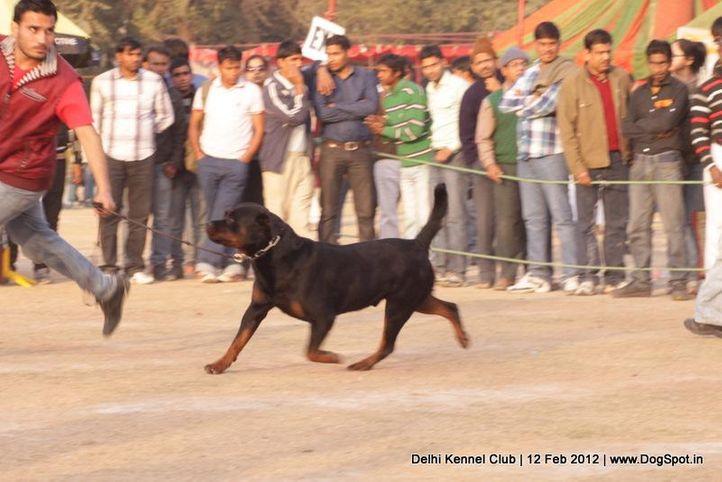 ex-233,rottweiler,sw-52,, IN. CH TH.SRB.JR.CH.CAI VON LENCHEN, Rottweiler, DogSpot.in
