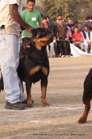 ex-234,rottweiler,sw-52,, CH Grewal`s Security, Rottweiler, DogSpot.in