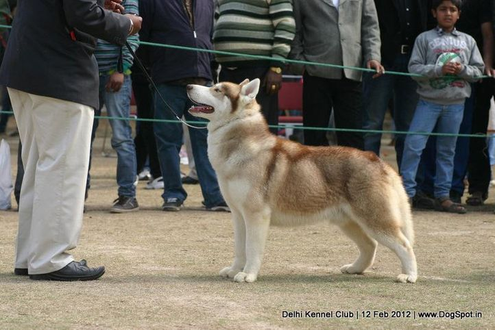 siberian,sw-52,, Delhi Kennel Club 2012, DogSpot.in