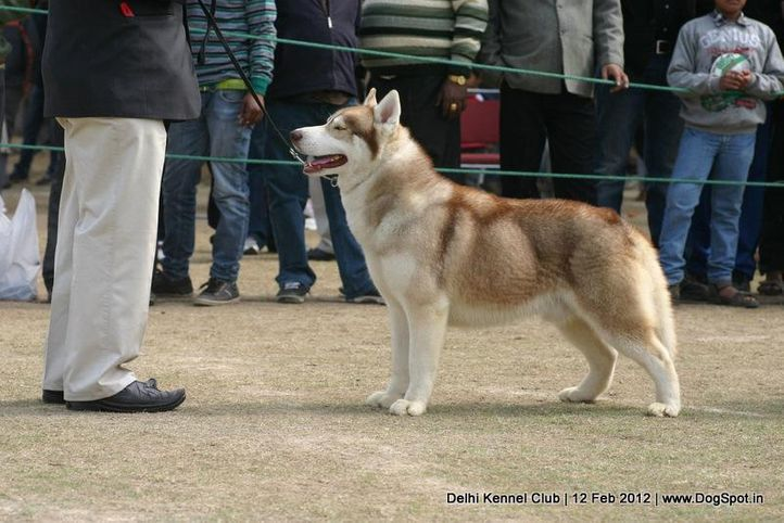 siberian,sw-52,, Delhi Kennel Club 2012, DogSpot.in