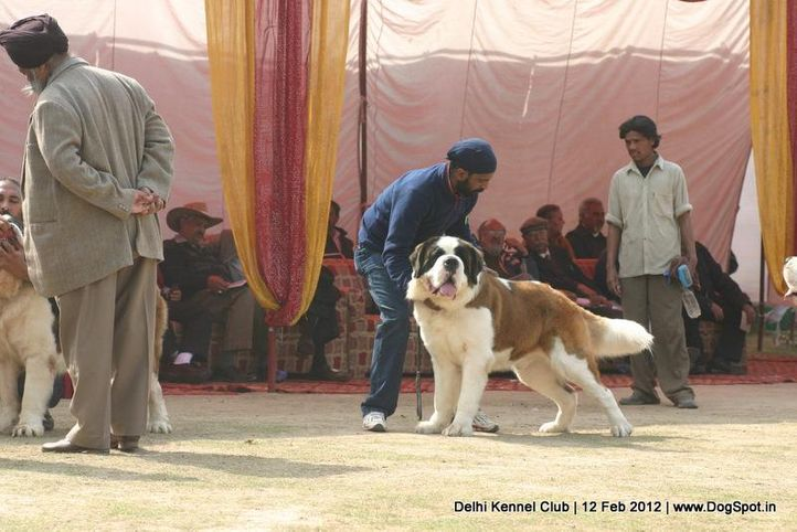 st bernard,sw-52,, Delhi Kennel Club 2012, DogSpot.in