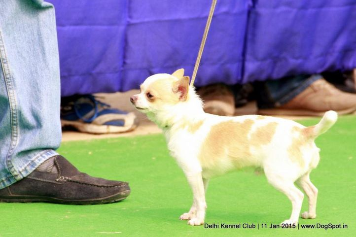 chihuahua smooth coat,ex-2,sw-145,, PABLOSLEJ'S SALSA DANCER MUCHACHO, Chihuahua (Smooth Coat), DogSpot.in