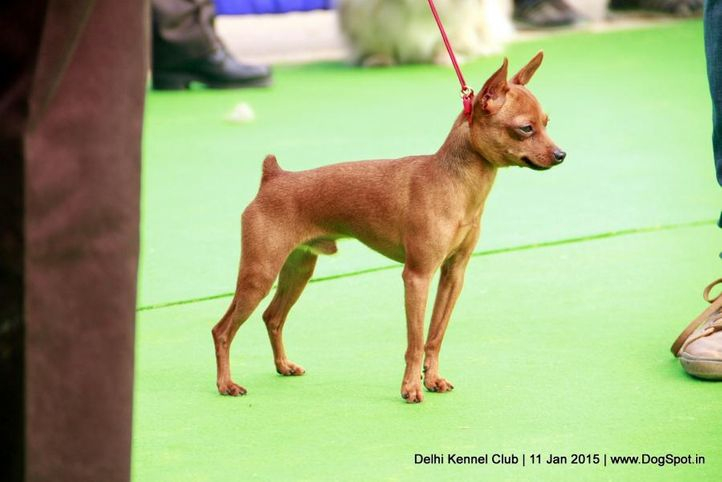 ex-348,min-pin,miniature pinscher,sw-145,, MILLION BERG'S BRAVO, Miniature Pinscher, DogSpot.in