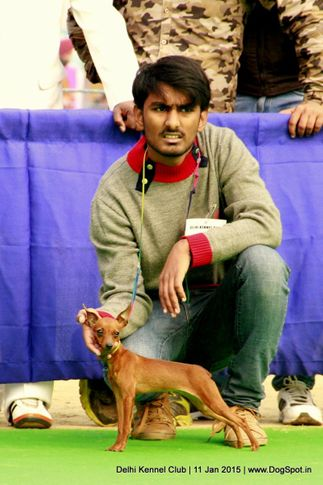 min-pin,miniature pinscher,sw-145,, Delhi Kennel Club , DogSpot.in