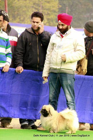 pekingese,sw-145,, Delhi Kennel Club , DogSpot.in