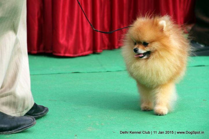 ex-9,pomeranian,sw-145,, HECTOR'S RAIN FOR FUN, Pomeranian, DogSpot.in