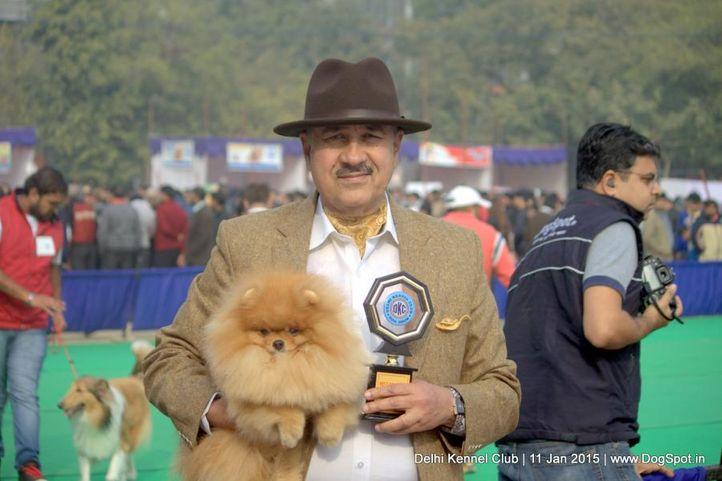 pomeranian,sw-145,, Delhi Kennel Club , DogSpot.in
