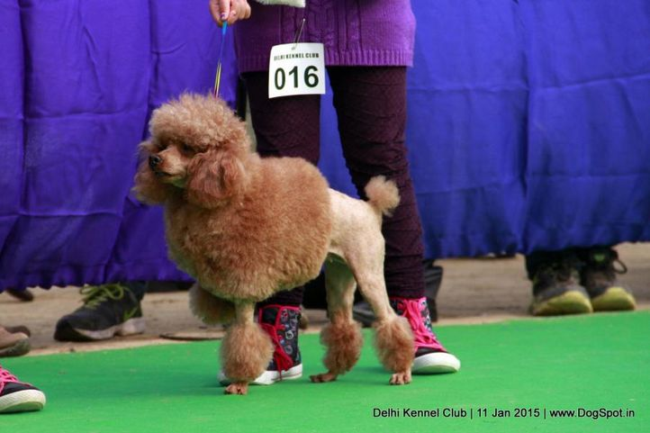 ex-16,poodle- toy,sw-145,, TAFFETA S BRITNEY, Poodle- Toy, DogSpot.in